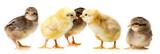 chickens - 103086345