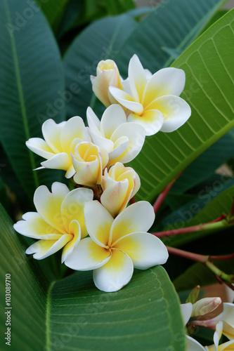 Fotobehang Plumeria white frangipani tropical flower, plumeria flower fresh blooming