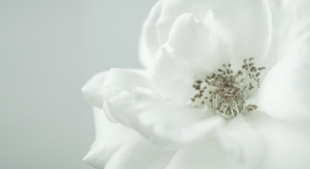 white rose in vintage color style for romantic background