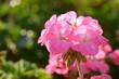 Leinwandbild Motiv Pink geraniums in the morning