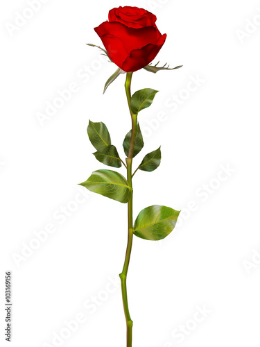 Red Rose isolated on white. EPS 10