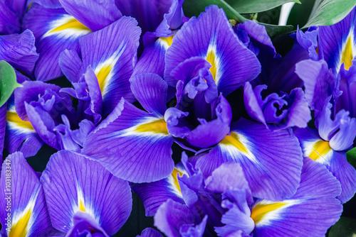 Plexiglas Iris texture close-up of iris flowers