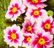 colorful pink garden flowers background