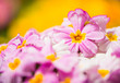 colorful pink garden flowers at yellow background