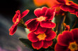 red garden flowers at abstract background