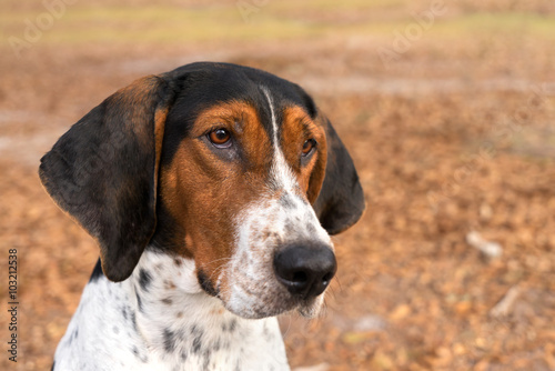Poster Treeing Walker Coonhound hound dog looking expectantly begging waiting watching
