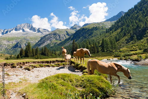 Poster Horses in National Park of Adamello Brenta - Italy / Herd of horses wading the Chiese river in the National Park of Adamello Brenta