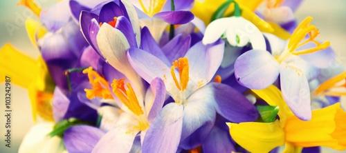 Panel Szklany Frühlingsblumen - Krokusse, Schneeglöckchen, Narzissen - Hintergrund