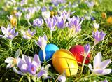 Ostern, Easter, bunte Ostereier in Wiese mit Krokussen
