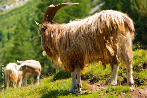 Poster Mountain Male Goat / Brown and white billy goat with long fur and horns