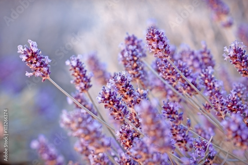 Fotobehang Purper Soft focus on beautiful lavender flowers