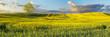 panorama pola młodego,kwitnącego rzepaku