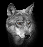 Portret wilka