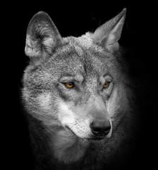wolf portrait © Vera Kuttelvaserova