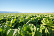 Fertile Field of Organic Lettuce Grow in California Farmland. Field of organic lettuce growing in a sustainable farm in California with mountains in the back.