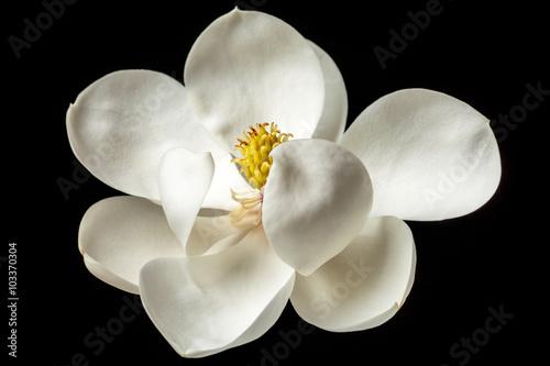 Fototapeta Magnolia Flower White Magnolias Floral Tree Flowers