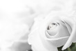 white roses close-up