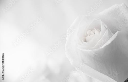 Zdjęcia na płótnie, fototapety, obrazy : white roses close-up