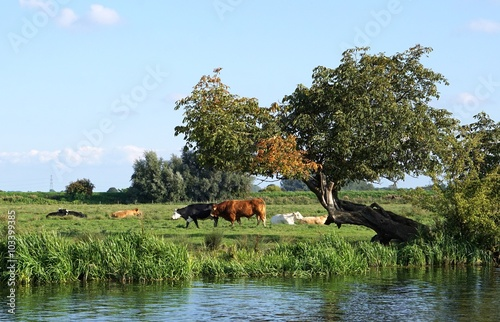 Red bull and Black Hereford in a riverside field in the Cambridgeshire fens, next to an old, leaning, misshapen tree Plakát