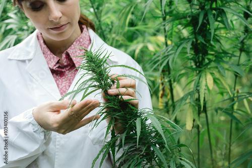Scientist checking hemp flowers