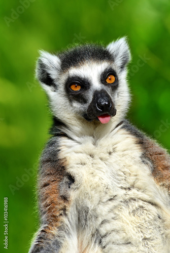 Poster Portrait of a ring-tailed lemur (Lemur catta)