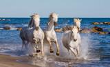 White Camargue Horses galloping along the sea beach. Parc Regional de Camargue. France. Provence. An excellent illustration - 103430564