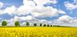 Drzewa na wiosennym polu kwitnącego rzepaku