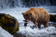 A brown bear sow catches a salmon at the base of Brooks Falls.