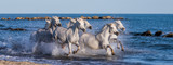 White Camargue Horses galloping along the sea beach. Parc Regional de Camargue. France. Provence. An excellent illustration