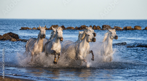 White Camargue Horses galloping along the sea beach. Parc Regional de Camargue. France. Provence. An excellent illustration © gudkovandrey