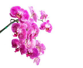 Close up violet orchid isolated on white