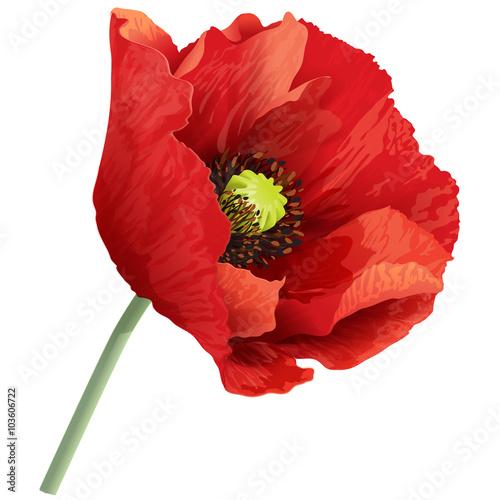 Poppy flower on a green stem.