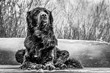 A snow-covered black Newfoundland and Golden Retriever mixed-breed dog smells the wind on a dock during a snow storm.