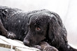 A snow-covered black Newfoundland and Golden Retriever mixed-breed dog relaxes on a dock during a snow storm.