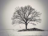 Fototapety silhouette of oak tree