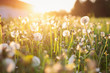 Detaily fotografie Green summer meadow with dandelions at sunset. Nature background