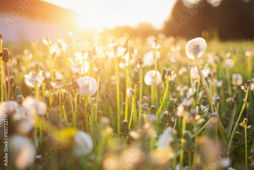 In de dag Oranje Green summer meadow with dandelions at sunset. Nature background