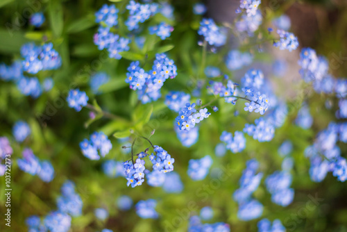 Close up of blue forget-me-not flower buds on meadow Poster
