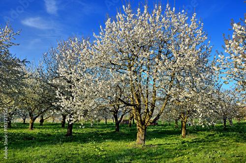 Poster Blühende Kirschbäume auf Obstplantage