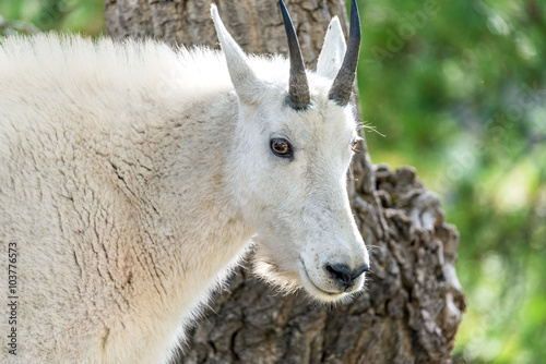Closeup of the face of a rocky mountain goat in Custer State Park in South Dakot Poster