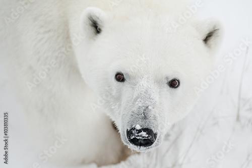 Aluminium Ijsbeer Male polar bear in the wild. Canada.