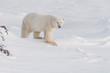 Wild male polar bear walking in evening light. Arctic.