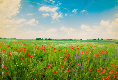 fototapeta na ścianę Field of bright red corn poppy flowers in summer