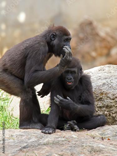 Foto op Canvas Aap two gorillas in zoo