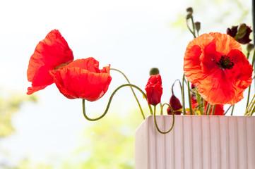 Red transparent poppy flower petals in rays of sunlight. Summert