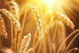 Fototapety Wheat field. Ears of golden wheat closeup