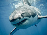 Great white shark smile