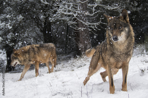 Wolves in the snow in winter Poster