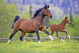 Bay Mare and Foal galloping together in spring meadow - 103899364