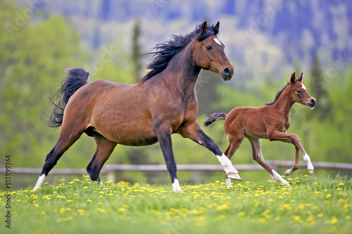 Bay Mare and Foal galloping together in spring meadow Poster
